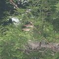 190602-1雛が孵ったのに気づいてから24日目・二羽の雛・アオサギ