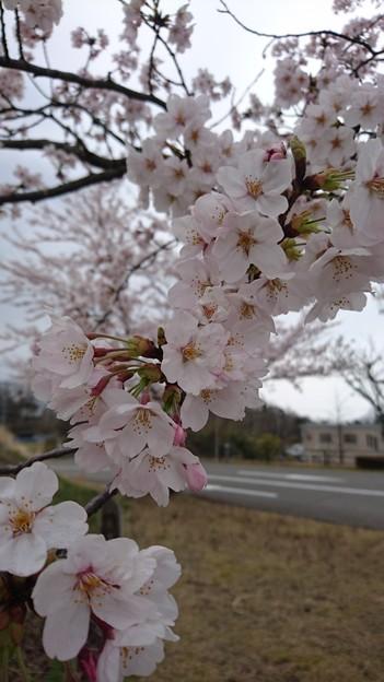 2019 桜1