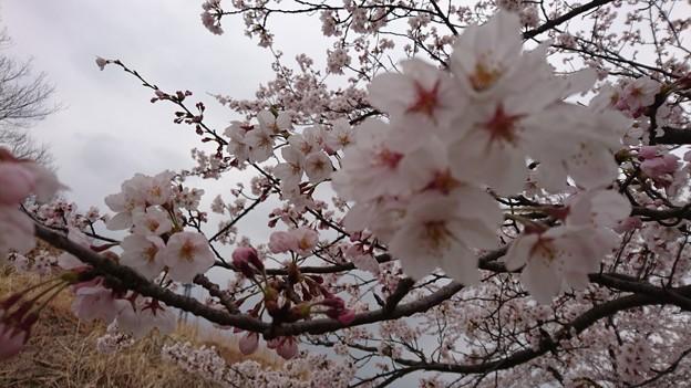 2019 桜2