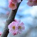 Photos: _DSC8931梅