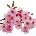 Photos: DSC_0052桜