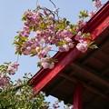 Photos: P1020726八重桜