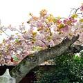 Photos: ぼたん桜