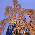 写真: 滝桜