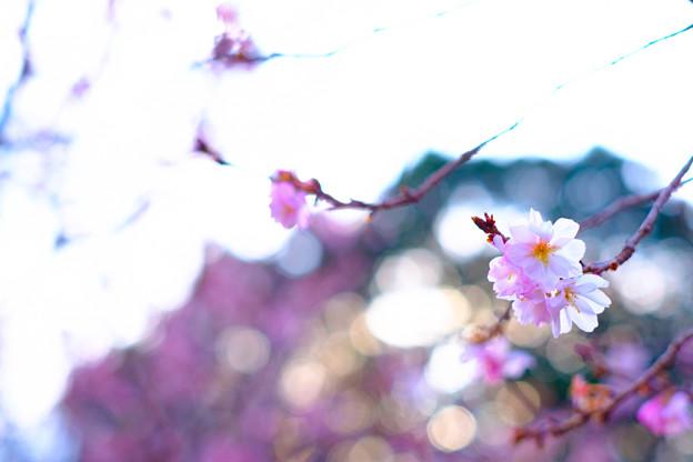新宿御苑寒桜