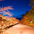 Photos: 弘前城冬に咲くさくらライトアップ