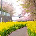 三浦海岸桜2