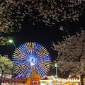 みなとみらい桜2