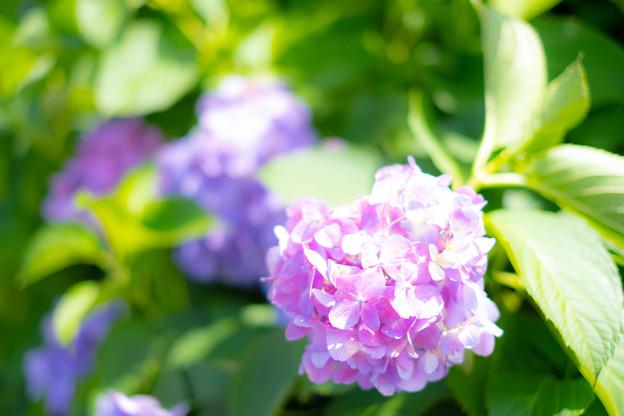 新宿御苑 紫陽花