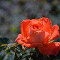 秋薔薇(オレンジ)
