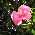 Photos: ピンクのハイビスカスが微笑んでました。