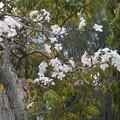写真: ペナンさくらが、咲きだした。