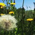 写真: ブタナの種