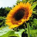 写真: 大きく咲いたヒマワリ