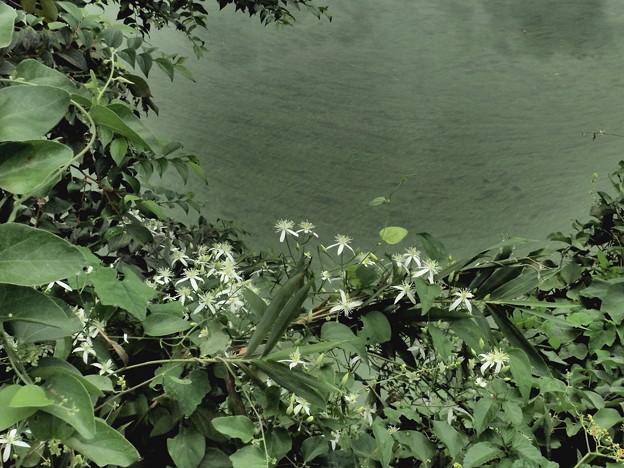 センニンソウ(仙人草)の白い花
