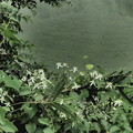写真: センニンソウ(仙人草)の白い花
