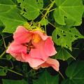 写真: フヨウの花とホウジャク