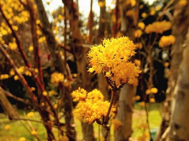 サンシュユの花 1