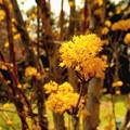 Photos: サンシュユの花 1