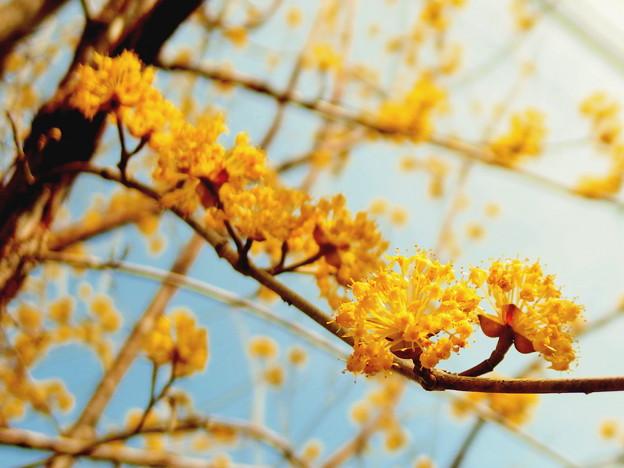 サンシュユの花 2