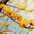 写真: サンシュユの花 2