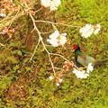 Photos: 桜の下で、珍客が花見に。