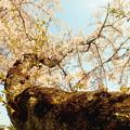 Photos: 龍が如く(桜)
