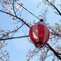Photos: 桜提灯