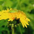 Photos: ウマオイ虫と西洋タンポポ