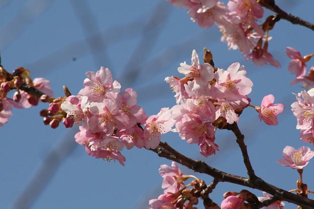 2018年3月3日 橋本公園の桜