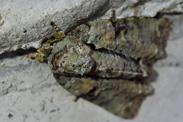 キノカワガ_18107a