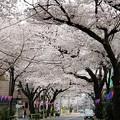 滝野川 桜通り(2018.3.27)