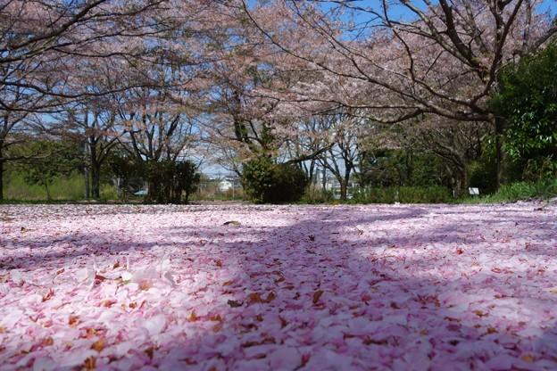 桜絨毯DSC06948