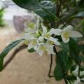 写真: みかんの花P1060401