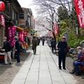 中山法華経寺の桜P1120634
