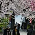 中山法華経寺の桜P1120637