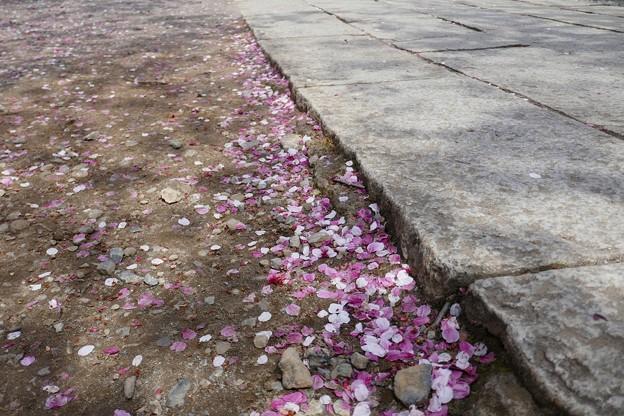 中山法華経寺の桜P1120647