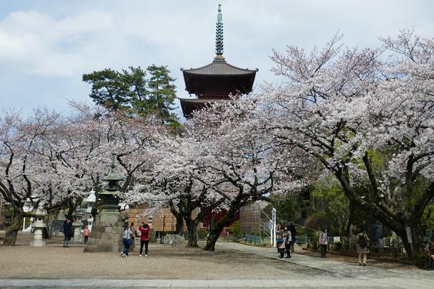中山法華経寺の桜P1120656