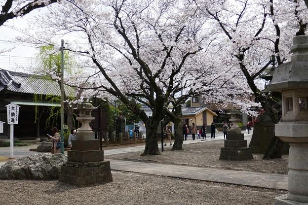 中山法華経寺の桜P1120657