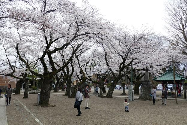 中山法華経寺の桜P1120659