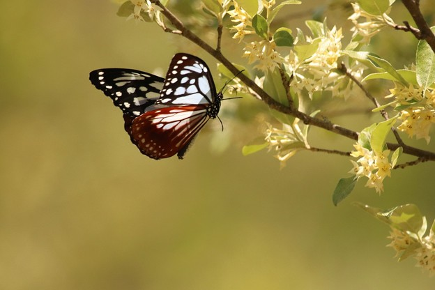 写真: 春のアサギマダラ