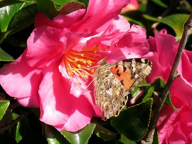 今年初見の蝶