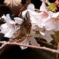 写真: 山桜の花に
