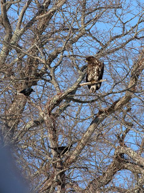 オジロワシ若鳥とカラス (1)