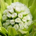 フキノトウ花