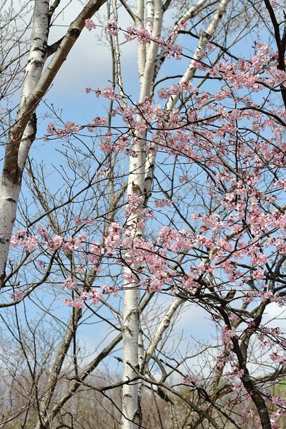 サクラ咲く (1)