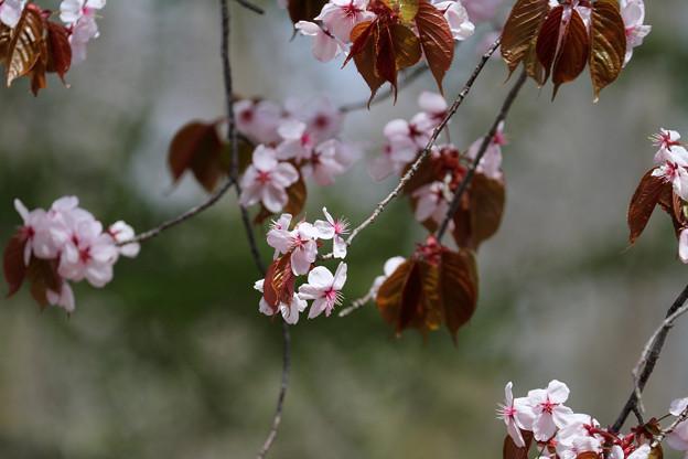 サクラ咲く (2)