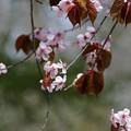 写真: サクラ咲く (2)