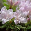 写真: ツツジも咲き (1)