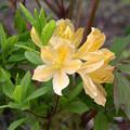 写真: ツツジも咲き (2)
